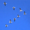 01680-geese-fly