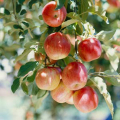 02668-fruit-apples-tree