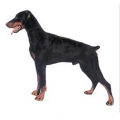 00463-dog-big-dobermann