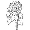 02238-sunflower